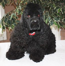 Black Cocker Spaniel Tucker image