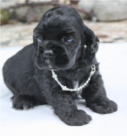 black cocker puppy image