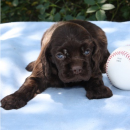 chocolate-cocker-puppy_260